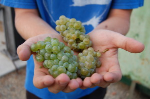 Riesling Grapes 2016 Harvest